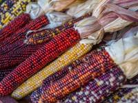 corn-4496878_1920