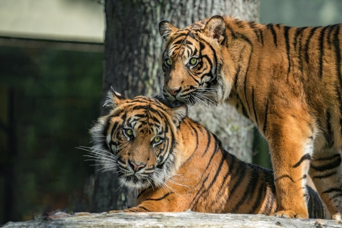 15742708879305606_by_hans3595_tigers