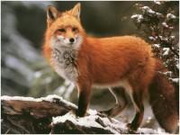 1576271221934914_by_jmeservey_fox