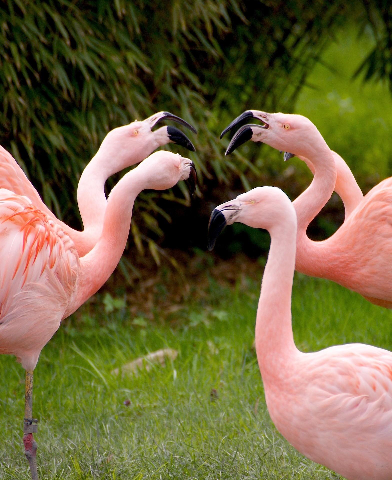 15791859754606939_by_hans3595_flamingos-1335042_1920