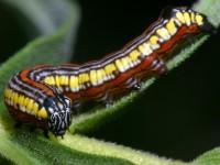 CurledBrownHoodedOwletCaterpillar