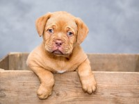 dogue-de-bordeaux-1047521_1920