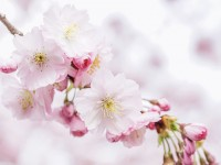 cherry-blossoms-4951853_1920