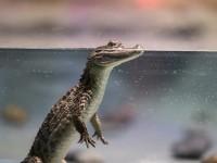 crocodile-4918820_1920