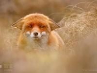 suspicious_fox_by_thrumyeye_d9qm1iz-fullview