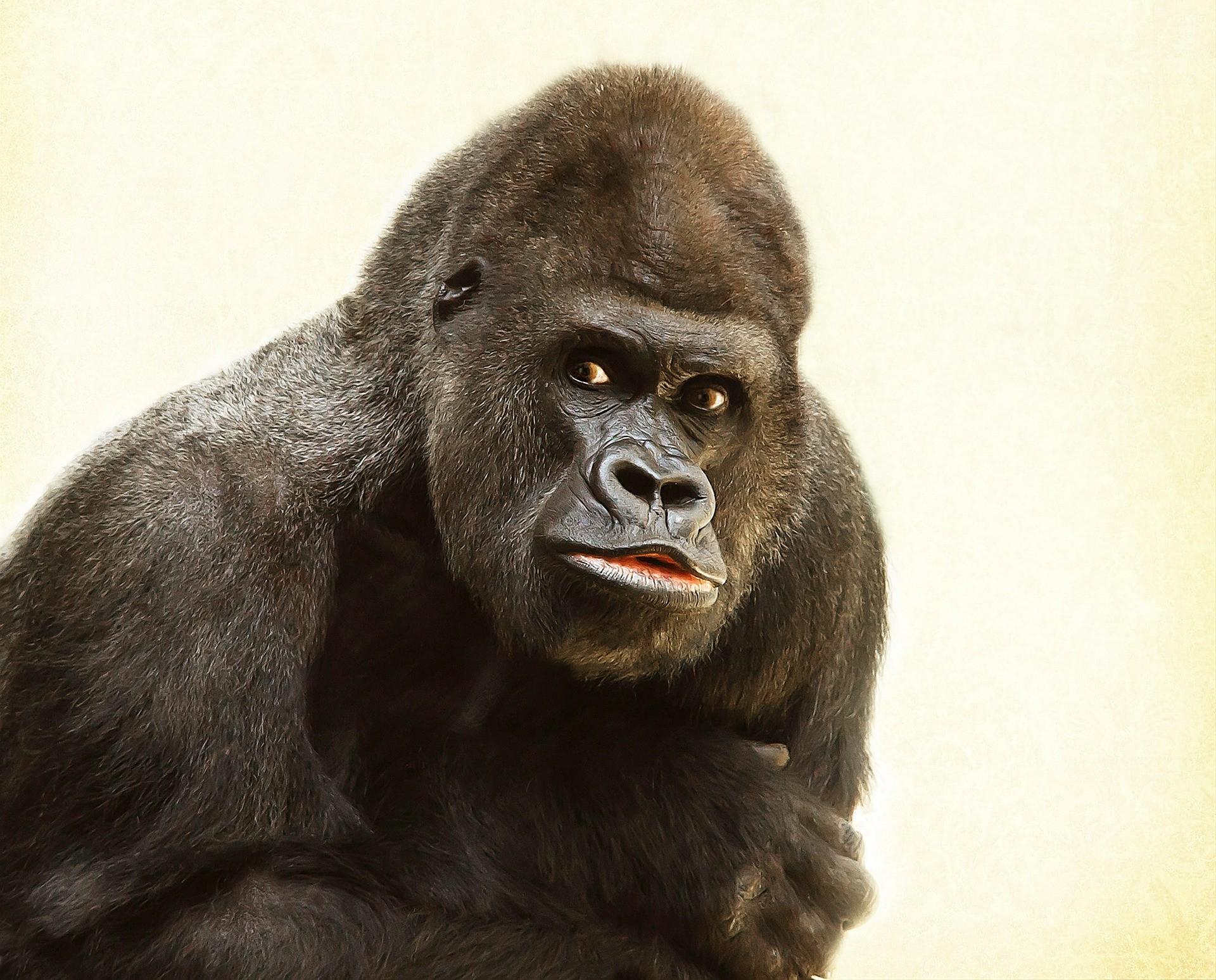 16010492234656418_by_hans3595_gorilla-448731_1920