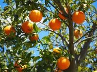 161764598010105385_by_hans3595_oranges-1117628_1920