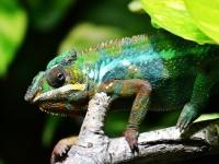 1618328996598455_by_hans3595_chameleon-318649_1920