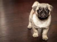 1618494068adopt-this-pug